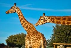 长颈鹿亲吻  免版税库存图片