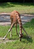 长颈鹿休息的年轻人 免版税库存照片