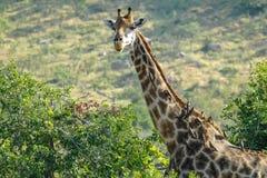 长颈鹿侧视图和看照相机-克留格尔国家公园- 2017年 库存图片