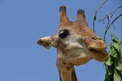 长颈鹿公园徒步旅行队动物园 美丽的野生生物动物 库存图片