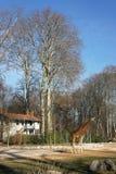 长颈鹿公园 库存图片