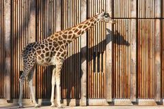 长颈鹿其影子 免版税库存图片
