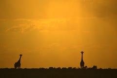 长颈鹿剪影-非洲野生生物-金黄日落 图库摄影