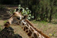 长颈鹿动物画象在非洲 免版税库存照片