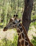 长颈鹿动物画象在非洲 免版税库存图片