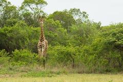 长颈鹿南非野生生物 免版税库存图片