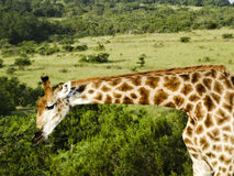 长颈鹿南Afrika东开普省 库存图片