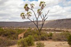长颈鹿吃着 免版税库存照片