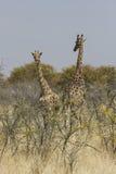 长颈鹿吃草在金合欢丛林,埃托沙国家公园,纳米比亚的对 免版税库存照片