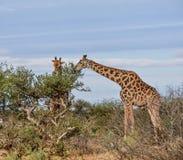 长颈鹿吃 图库摄影