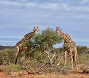长颈鹿吃 库存图片