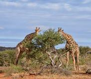 长颈鹿吃 免版税库存照片
