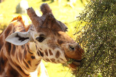 长颈鹿吃 免版税库存图片