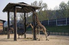 长颈鹿和斑马在动物园,布拉索夫里 库存图片