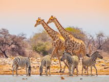 长颈鹿和斑马在waterhole 免版税库存图片