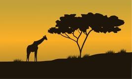 长颈鹿和树剪影在徒步旅行队 库存照片