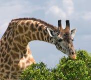 长颈鹿和结构树,非洲野生生物,徒步旅行队 免版税库存图片