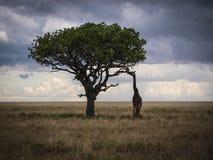 长颈鹿和金合欢 库存照片