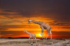 长颈鹿和崽 库存图片