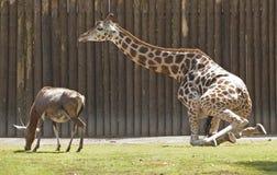 长颈鹿和blesbok 库存照片