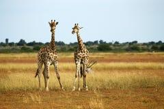 长颈鹿哺乳动物的网状的最高的世界 免版税库存图片