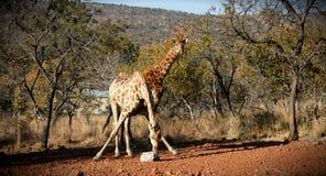 长颈鹿哺养 图库摄影
