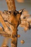 长颈鹿喝的特写镜头纵向 免版税库存图片