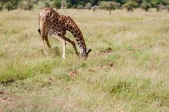 长颈鹿喝 免版税库存照片