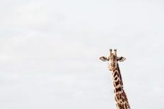 长颈鹿嚼 库存照片
