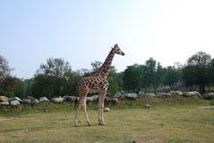 长颈鹿在一个公园在意大利 免版税库存照片