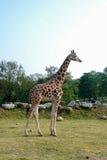 长颈鹿在一个公园在意大利 图库摄影