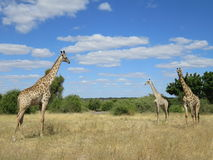 长颈鹿在乔贝国家公园,博茨瓦纳 免版税库存图片