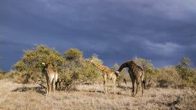 长颈鹿在克留格尔国家公园,南非 库存图片