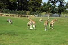 长颈鹿在动物园、徒步旅行队或者徒步旅行队公园里 库存图片