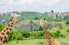 长颈鹿在动物园布拉格里 库存图片