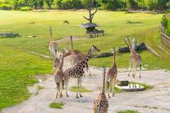 长颈鹿在动物园徒步旅行队公园 库存照片