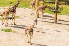 长颈鹿在动物园徒步旅行队公园 免版税库存照片