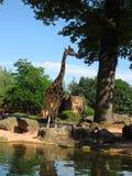长颈鹿在动物园里 大美丽的长颈鹿 库存照片