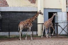 长颈鹿在动物园里 免版税图库摄影