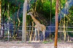 长颈鹿在动物园里 免版税库存图片