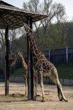 长颈鹿在动物园,布拉索夫里 库存照片
