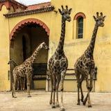 长颈鹿在动物园,里斯本,葡萄牙公园里 免版税库存照片