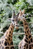 长颈鹿在动物园, Pilsen,捷克里 库存图片
