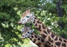 长颈鹿在动物园, Pilsen,捷克里 免版税库存照片