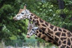 长颈鹿在动物园, Pilsen,捷克里 免版税图库摄影