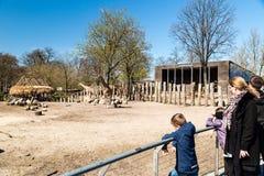 长颈鹿在哥本哈根动物园里 免版税库存照片