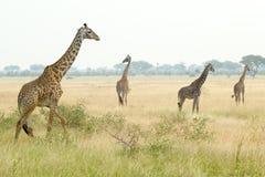长颈鹿在塞伦盖蒂 免版税库存照片