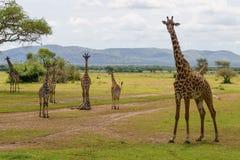 长颈鹿在塞伦盖蒂 图库摄影