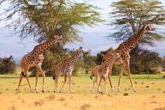 长颈鹿在奈瓦沙公园 库存图片