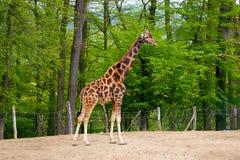 长颈鹿在小牧场 免版税图库摄影